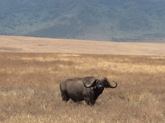 buffalo seen on safari in ngorogoro crater