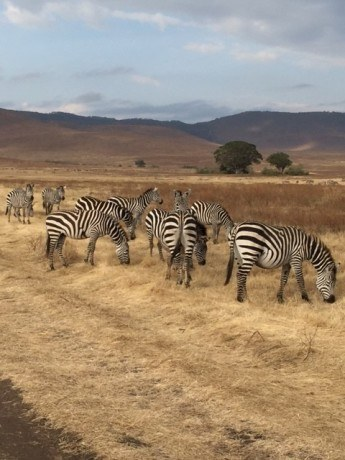 zebras at the ngorogoro crater