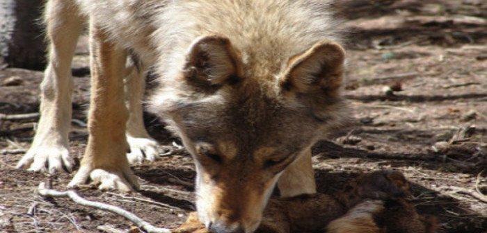 Wild Colorado: Mission Wolf