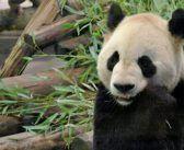 Volunteering with Pandas in Chengdu, China